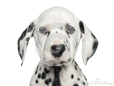 Close-up of a Dalmatian puppy facing, looking at the camera