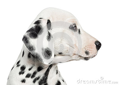 Close-up of a Dalmatian puppy s profile, isolated