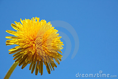 Close up of dandelion