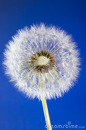 Close up of dandelion head loosing seeds on blue