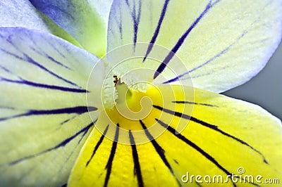 Close up de Extrem em uma flor do pansy