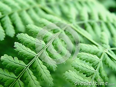 Close up de um Fern
