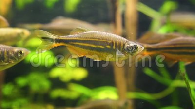 Close up de um peixe gigante do danio que nada no aquário, specie tropical do peixinho de rio dos rios de Ásia filme