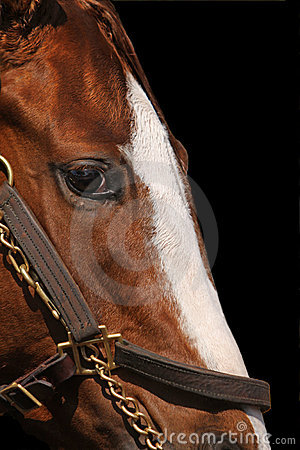Close Up Detail of Race Horse s Face