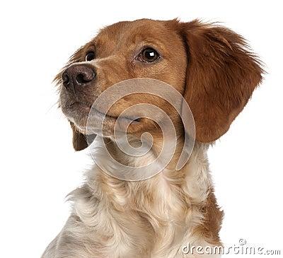 Close-up do filhote de cachorro de Brittany