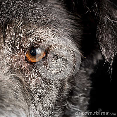 Free Close Up Dog Half Face With Orange Eye Royalty Free Stock Photo - 45913715