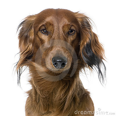 Close-up on a dog s head, Dachshund, front view