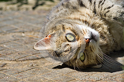 Close up of domestic cat lying upside down