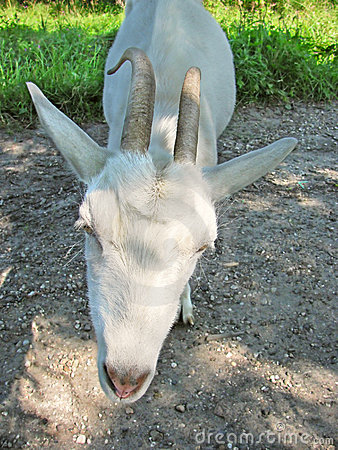 Close-up of domestic goat