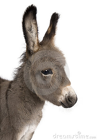 Close-up on a donkey foal s head (2 months)
