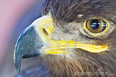 Close-up eagle head