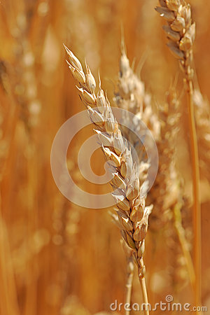 Close Up of Ear of Wheat