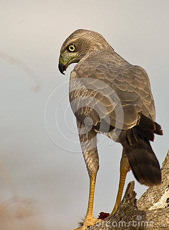 Close-up of an Eastern Chanting-goshawk