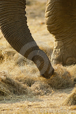 Close-up of an elephant s trunk