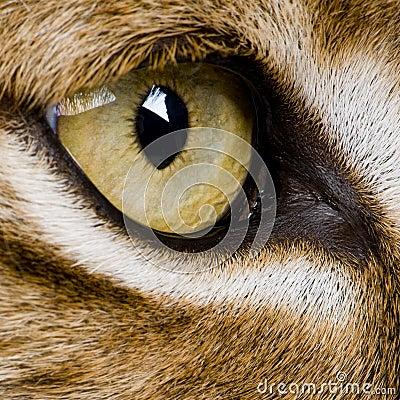 Close-up em um olho do feline - lince euro-asiático