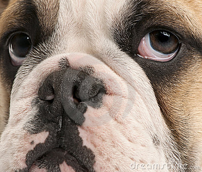 Close-up of English bulldog puppy, 4 months old