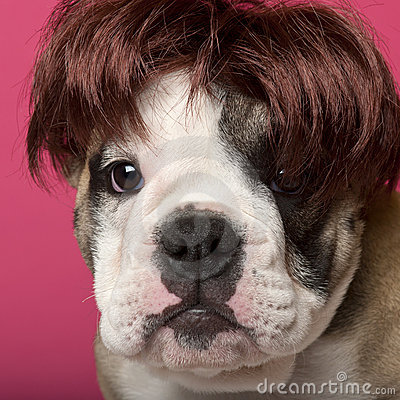 Close-up of English Bulldog puppy wearing a wig