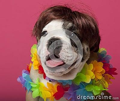 Close-up of English Bulldog puppy wearing a wig