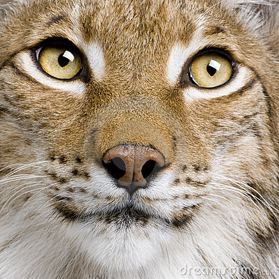 Close-up of Eurasian Lynx, 5 years old,