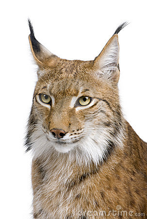 Close-up of a Eurasian Lynx s head