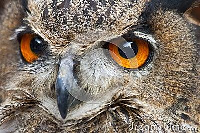 A close up of a European Eagle Owl