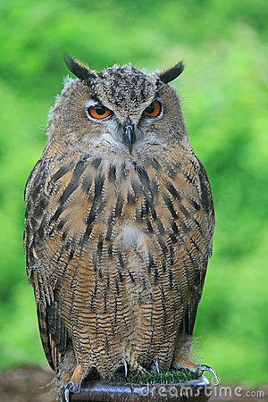 A close-up of European Eagle Owl