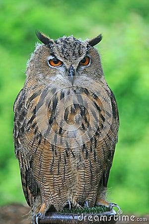 A close-up of European Eagle Owl