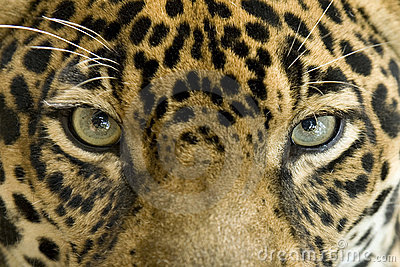 Close Up Eyes Jaguar Big Cat, Costa Rica Stock Images ...