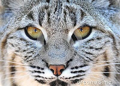 close up eyes North american bobcat yellowstone