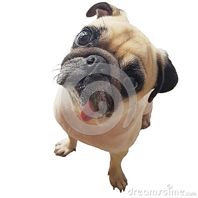 Free Close-up Face Cute Pug Dog Puppy With Tongue Sticking Out Look Camera. Pug Dog In Wonder And Big Head Shot That Call The Dog. Royalty Free Stock Image - 75701096