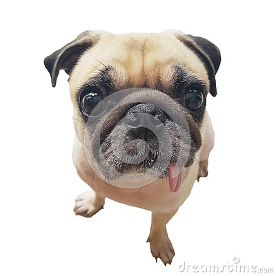 Free Close-up Face Cute Pug Dog Puppy With Tongue Sticking Out Look Camera. Pug Dog In Wonder And Big Head Shot That Call The Dog. Royalty Free Stock Photos - 75701098