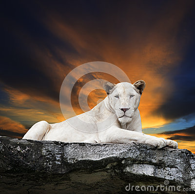 Free Close Up Face Of White Lioness Lying On Rock Cliff Against Beaut Royalty Free Stock Photos - 41555028