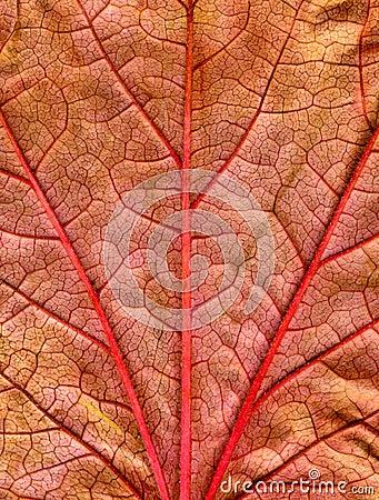 Close up of a fall leaf.