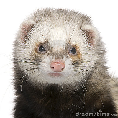 Close-up of Ferret, 1 year old