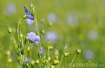 Close-up on flax flowers