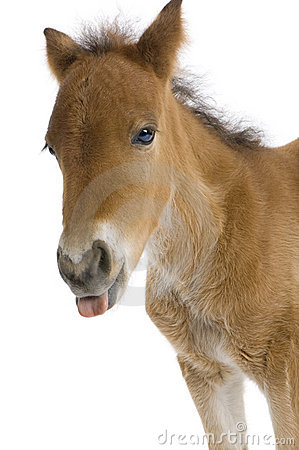 Close-up of a Foal s head