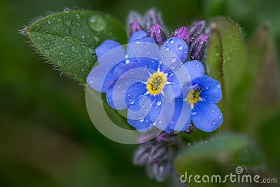 Close up of a forget-me-not flower Stock Photo