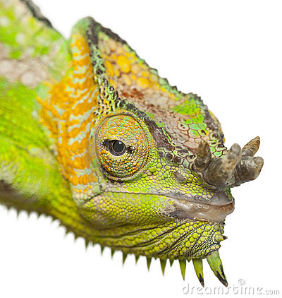 Close-up of Four-horned Chameleon