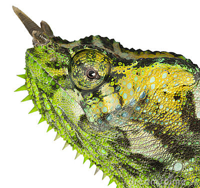 Close-up of Four-horned Chameleon, Chamaeleo