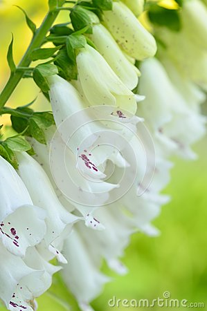 Free Close-up Foxglove - Digitalis Purpurea. Royalty Free Stock Photography - 49006567