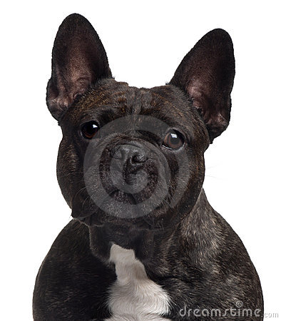 Close-up of French bulldog