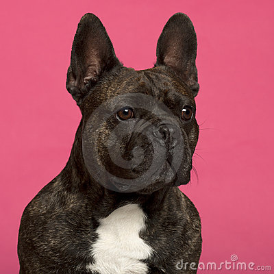 Close-up of French Bulldog, 5 years old
