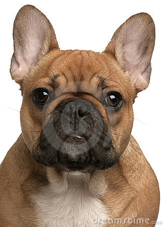 Close-up of French Bulldog puppy, 5 months old, in front of white