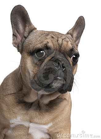 Close-up of French Bulldog puppy, 6 months old,