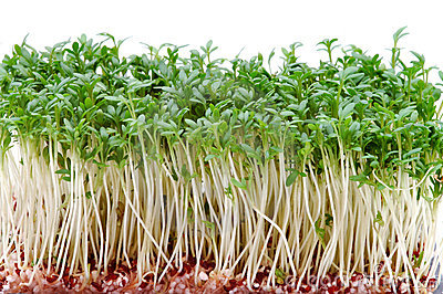 Close-up of fresh cress