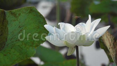 Close Up Of Fresh White Lotus Flower Stock Video Video Of Free