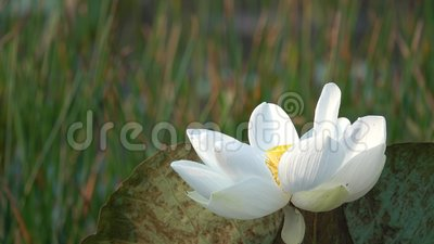Close Up Of Fresh White Lotus Flower Stock Video Video Of