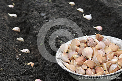 Close-up of garlic in planting process