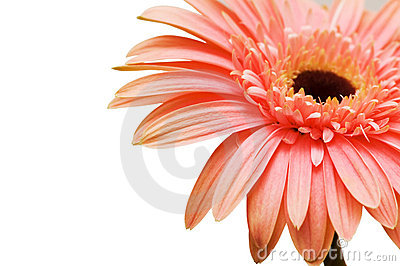 Close up of gerber daisy isolated