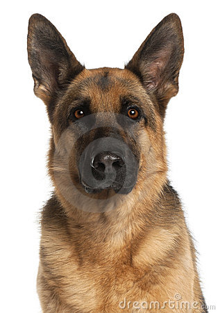 Close-up of German Shepherd Dog, 4 years old